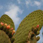 Chumbera o nopal para aliviar problemas de estómago en www.deporteysaludfisica.com Fuente imagen www.sxc.hu/