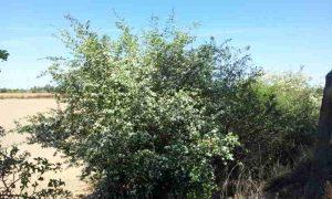 Espino blanco o espino albar para descansar y dormir. Antiestres. www.deporteysaludfisica.com